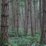 Из каких деревьев делают брус?